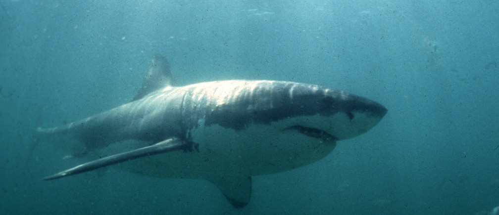 UNDATED FILE PICTURE - A Great White Shark swims past a diving cage off Gansbaai about 200 kilometres east of Cape Town. Hunted to the brink of extinction in the 1970's and 1980's, the Great White is now a protected specis in many parts of the world. In South Africa shark cage diving forms a growing business in the eco- and adventure tourism industries. **POOR QUALITY DOCUMENT** - PBEAHULOFBL