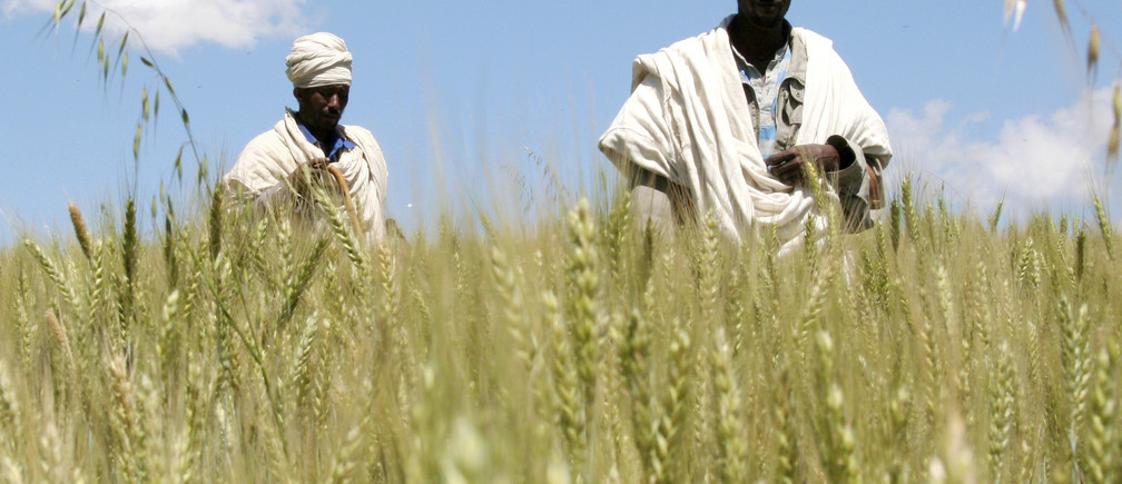 Ethiopian farmers Mandefro Tesfaye (L) and Maru Sisay walk in their wheat field in Abay, north of Addis Ababa, October 21, 2009. For centuries, farmers like Berhanu Gudina have eked out a living in Ethiopia's central lowlands, tending tiny plots of maize, wheat or barley amid the vastness of the lush green plains. Now, they find themselves working cheek by jowl with high-tech commercial farms stretching over thousands of hectares tilled by state-of-the-art tractors -- and owned and operated by foreigners. Picture taken October 21, 2009. To match special report FOOD/AFRICA  REUTERS/Barry Malone (ETHIOPIA AGRICULTURE FOOD) - GM1E5BC0R8R01