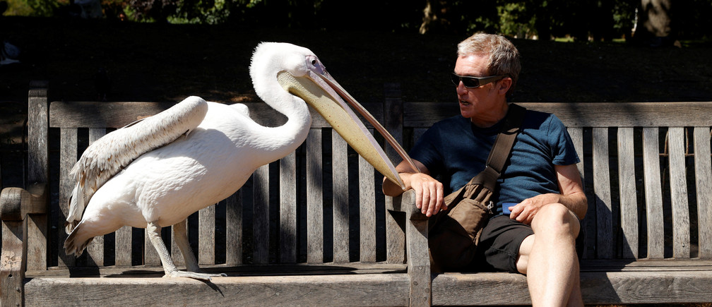A man is seen with pelican in St James's Park, London, Britain, May 21, 2020. REUTERS/John Sibley - RC22TG9TPIOK