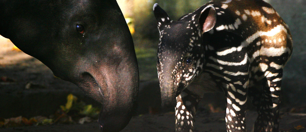 Indah (R), a three week old Malayan tapir stands next to her mother Sayang during her first photocall at Edinburgh zoo October 16, 2008. Malayan tapir's, which are an endangered species, are hoofed animals related to rhinos and horses and are found in the forests of Malaysia, Thailand, Burma and Sumatra.
