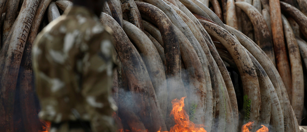 A Kenyan Wildlife Service (KWS) ranger walks past a burning part of an estimated 105 tonnes of ivory and a tonne of rhino horn confiscated from smugglers and poachers at the Nairobi National Park near Nairobi, Kenya, April 30, 2016. REUTERS/Siegfried Modola