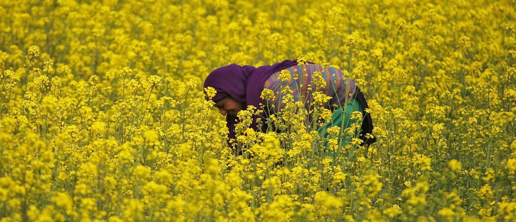 A woman works in her mustard field on the outskirts of Srinagar March 26, 2015