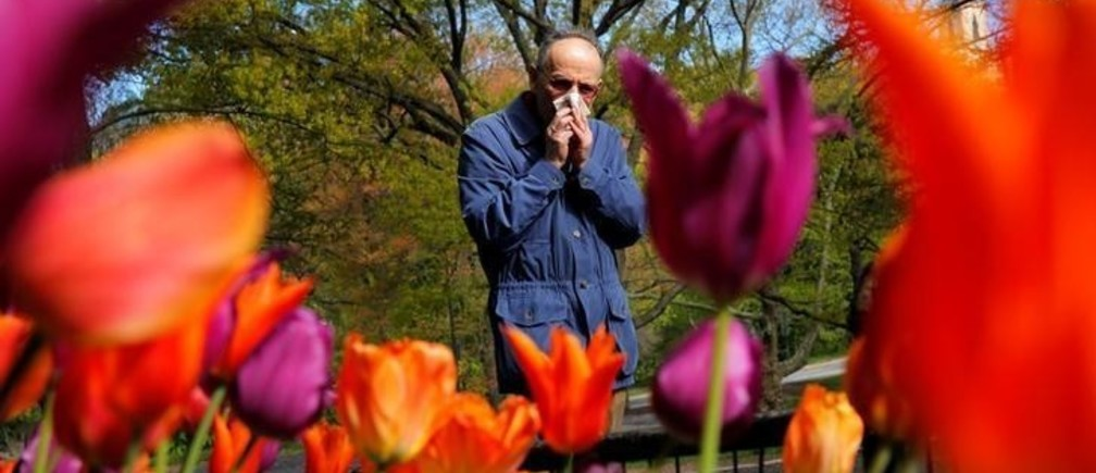 A man covers his nose after sneezing as he walks past a bed of tulips while walking through Central Park in New York, U.S., April 30, 2016. REUTERS/Lucas Jackson