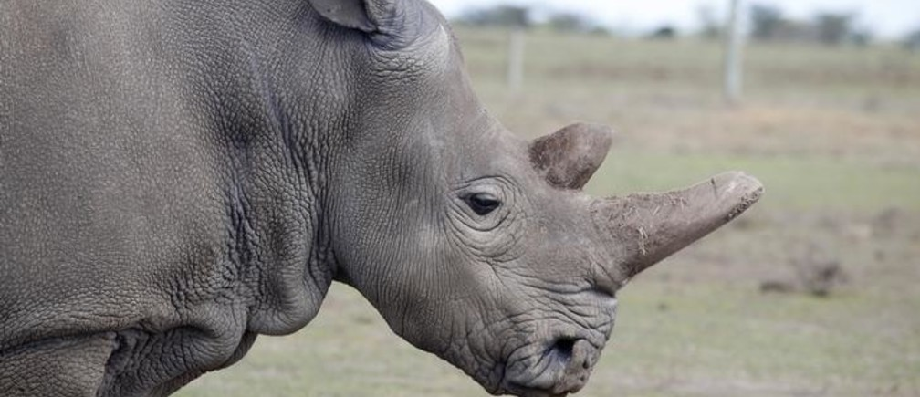 Najin, one of two last northern white rhino females, stands in an enclosure at the Ol Pejeta Conservancy in Laikipia National Park, Kenya March 7, 2018. REUTERS/Baz Ratner