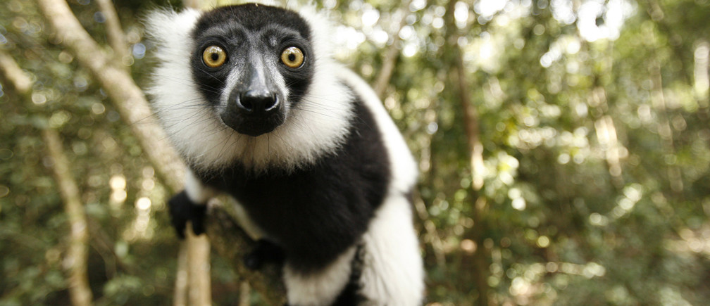 A Black and White Ruffed Lemur clings to a branch at the Monkeyland Primate Sanctuary near Pletteberg Bay on South Africa's scenic Garden Route September 30, 2007. Common to Madagascar, the Black and White Ruffed Lemur is currently classified as Endangered by the World Conservation Union. World Animal Day is commemorated on October 4.
