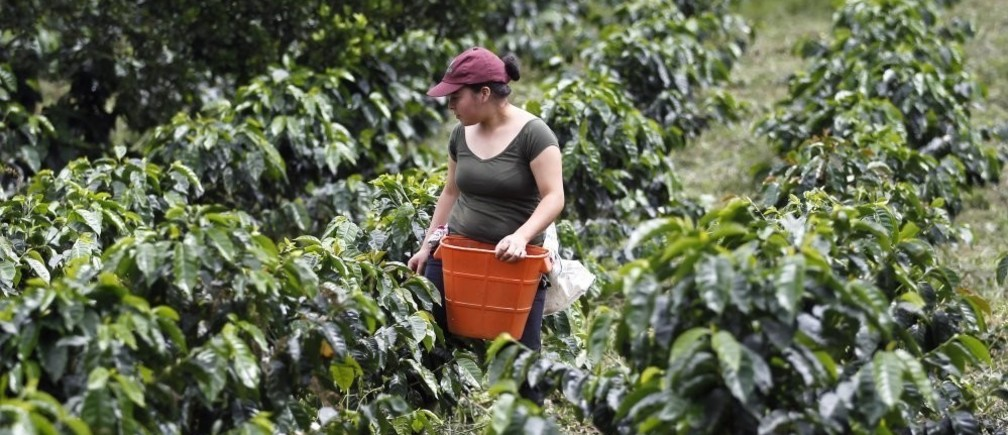 A farmer harvests coffee beans at a farm near Sasaima city May 14, 2012. The Free Trade Agreement between Colombia and the United States takes effect on May 15.