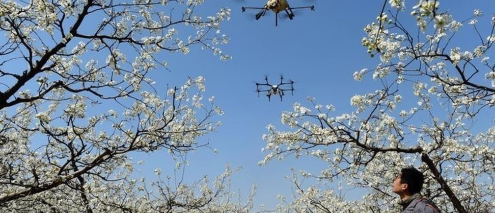 A worker looks on as drones are used to pollinate pear blossoms at a pear farm in Cangzhou, Hebei province, China April 9, 2018. REUTERS/Stringer  ATTENTION EDITORS - THIS IMAGE WAS PROVIDED BY A THIRD PARTY. CHINA OUT.     TPX IMAGES OF THE DAY