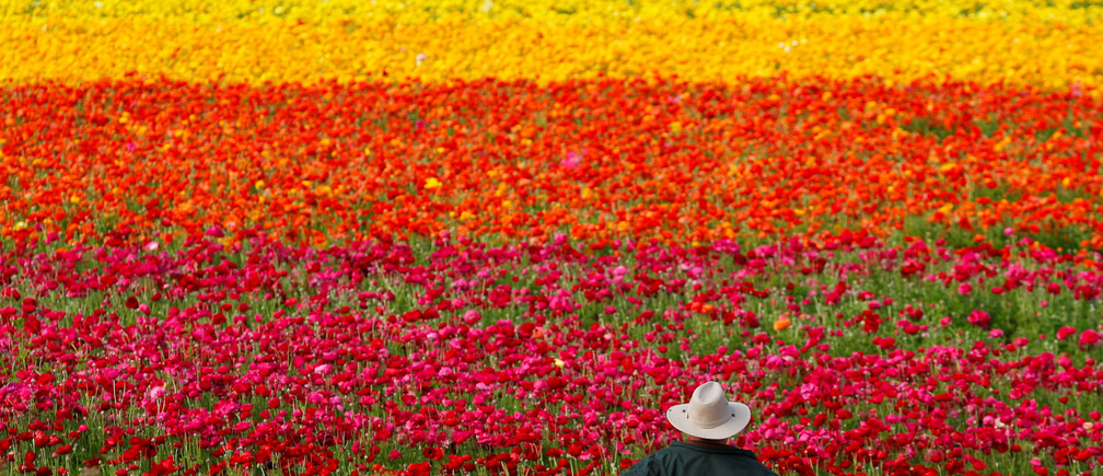 A visitor looks at the Flower Fields at Carlsbad Ranch as he enjoys nearly 50 acres of blooming giant Tecolote ranunculus flowers in Carlsbad, California, U.S., March 21, 2019.  REUTERS/Mike Blake TPX IMAGES OF THE DAY - RC1200041A20