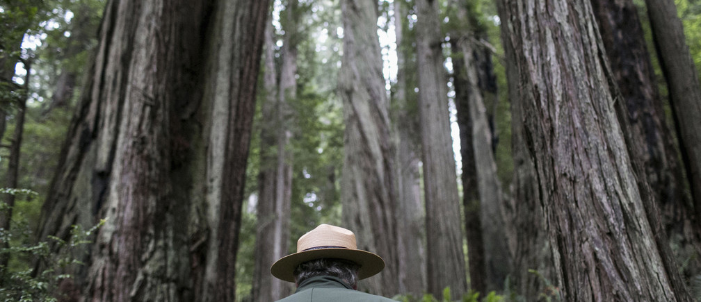 National Park Service Ranger Jeff Denny heads into a grove of redwoods off Highway 101 outside of Orick, California June 3, 2014. Redwood burls are reproductive growths on the tree that can sprout clones and are highly sought after for their unique grain patterns popular in high end furniture and artwork. Recent poaching for redwood burls in the Redwood National Park and Northern California State Parks forced officials to close the Newton B. Drury Scenic Parkway, a ten mile drive through the old growth Redwood forest, after sunset, according to the National Park Service. Picture taken June 3, 2014. REUTERS/Nick Adams (UNITED STATES - Tags: ENVIRONMENT) - GM1EA6I0JYZ01