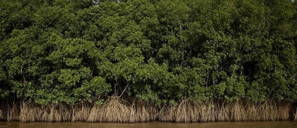 """Mangroves grow on the banks of Oiapoque River on the coast of Amapa state, near Oiapoque city, northern Brazil, April 3, 2017. REUTERS/Ricardo Moraes  SEARCH """"OIL AMAZON"""" FOR THIS STORY. SEARCH """"WIDER IMAGE"""" FOR ALL STORIES."""