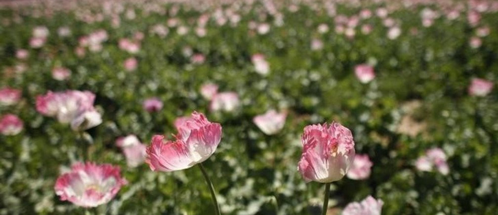 A large field of poppies grows on the outskirts of Jelawar village in the Arghandab Valley north of Kandahar April 18, 2011.  REUTERS/Bob Strong  (AFGHANISTAN - Tags: SOCIETY)