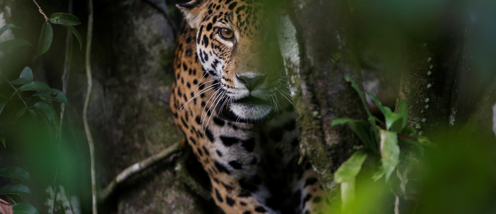 "A female adult jaguar sits atop a tree at the Mamiraua Sustainable Development Reserve in Uarini, Amazonas state, Brazil, June 5, 2017. REUTERS/Bruno Kelly     SEARCH ""JAGUARS AMAZON"" FOR THIS STORY. SEARCH ""WIDER IMAGE"" FOR ALL STORIES. TPX IMAGES OF THE DAY - RC1707E4E950"