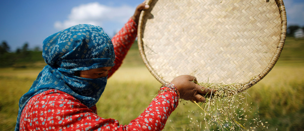 A farmer harvests rice on a field in Nepal.