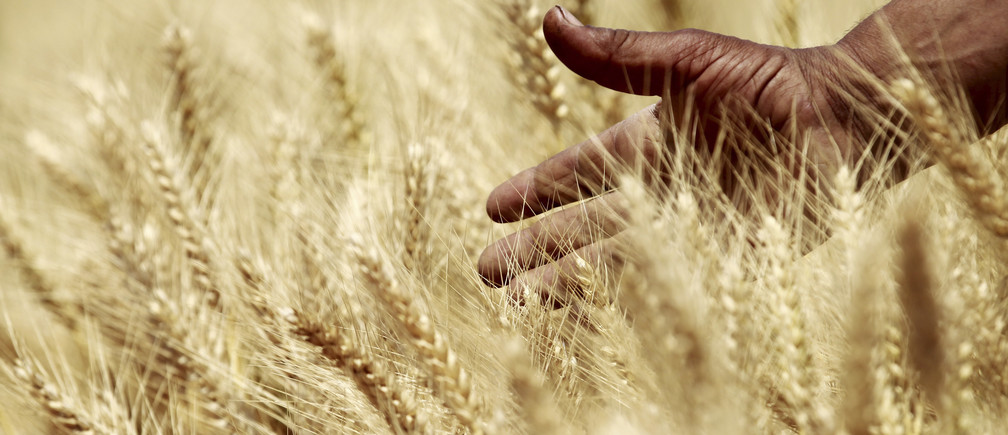 A farmer harvests wheat on a field in the El-Menoufia governorate, about 9.94 km (58 miles) north of Cairo April 23, 2013. Egypt's wheat crop will be close to 10 million tonnes this season, agriculture minister Salah Abdel Momen said on Sunday as the harvest gets underway, more than the supply minister's 9.5 million tonne forecast. Picture taken April 23, 2013. REUTERS/Mohamed Abd El Ghany (EGYPT - Tags: AGRICULTURE BUSINESS COMMODITIES) - GM1E94O1QJE01