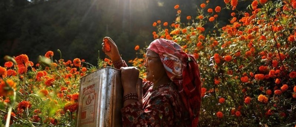 A woman picks marigold flowers, used to make garlands and offer prayers, before selling them to the market for the Tihar festival, also called Diwali, in Kathmandu, Nepal November 4, 2018. REUTERS/Navesh Chitrakar - RC1EA9F912D0