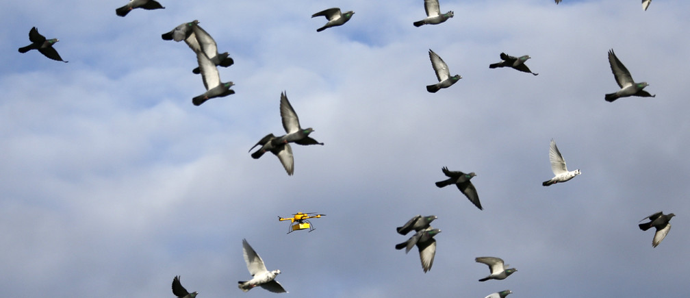 "A flock of pigeons flies with a prototype ""parcelcopter"" of German postal and logistics group Deutsche Post DHL in Bonn December 9, 2013."