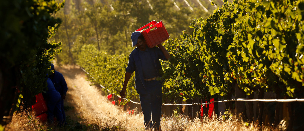 Workers harvest grapes at the La Motte wine farm in Franschhoek near Cape Town, South Africa in this picture taken January 29, 2016.
