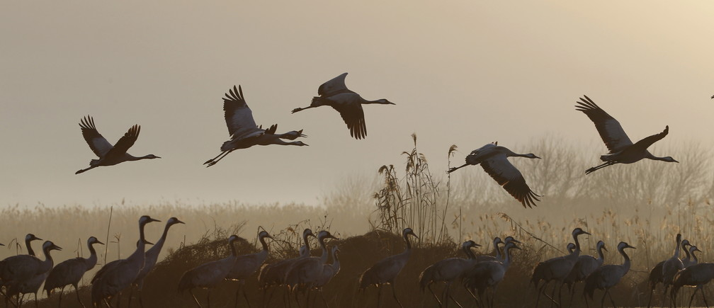 Migrating cranes fly over the Hula Lake Ornithology and Nature Park in northern Israel February 14, 2016. The Hula Valley is a stopping point for hundreds of species of birds along their migration route between the northern and southern hemispheres and during the cold season it becomes one of the largest concentrations of cranes in the world, a spokeperson for the Jewish National Fund said. REUTERS/Baz Ratner - RTX26V0B