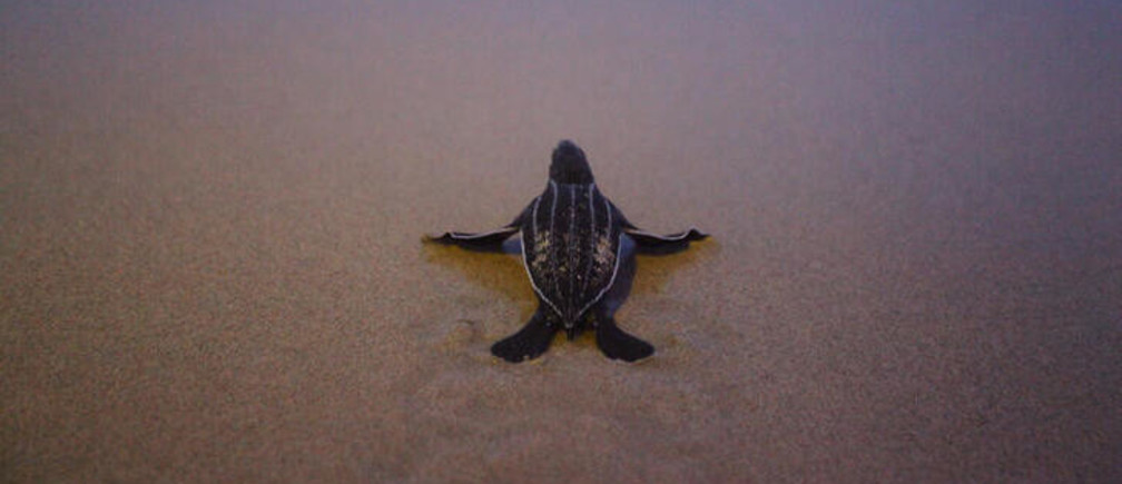 A newly-hatched baby leatherback sea turtle makes its way into a sea for the first time at a beach in Phanga Nga district, Thailand, March 27, 2020. Picture taken March 27, 2020.