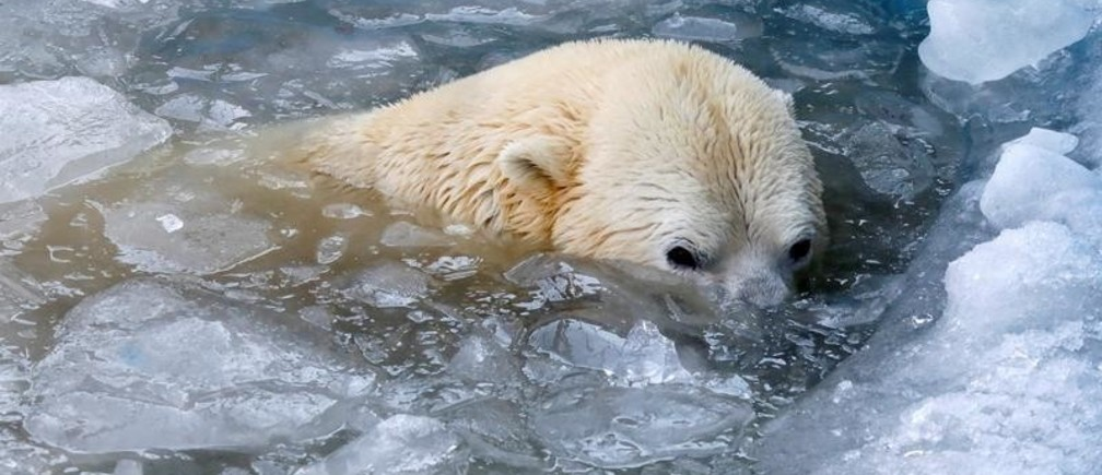 Felix, a male polar bear, bathes amidst pieces of ice in a pool of an open-air cage at the Royev Ruchey Zoo in Krasnoyarsk, Russia March 28, 2019. REUTERS/Ilya Naymushin - RC19AE025900
