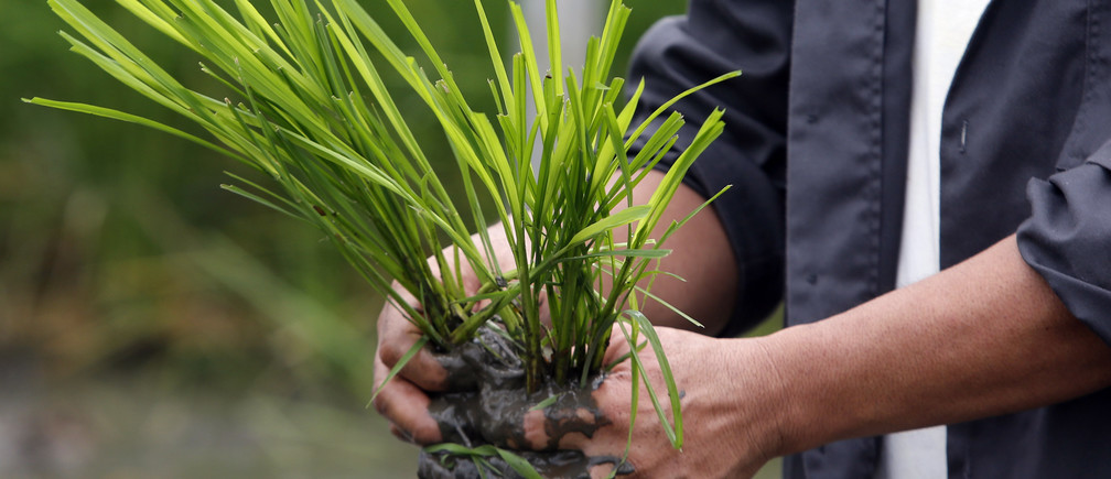 """An agriculturist prepares to plant """"Golden Rice"""" seedlings at a laboratory of the International Rice Research Institute in Los Banos, Laguna south of Manila, August 14, 2013."""