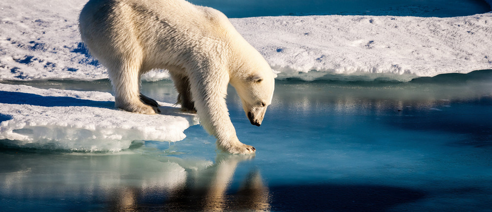 Polar bears already face shorter ice seasons - limiting prime hunting and breeding opportunities
