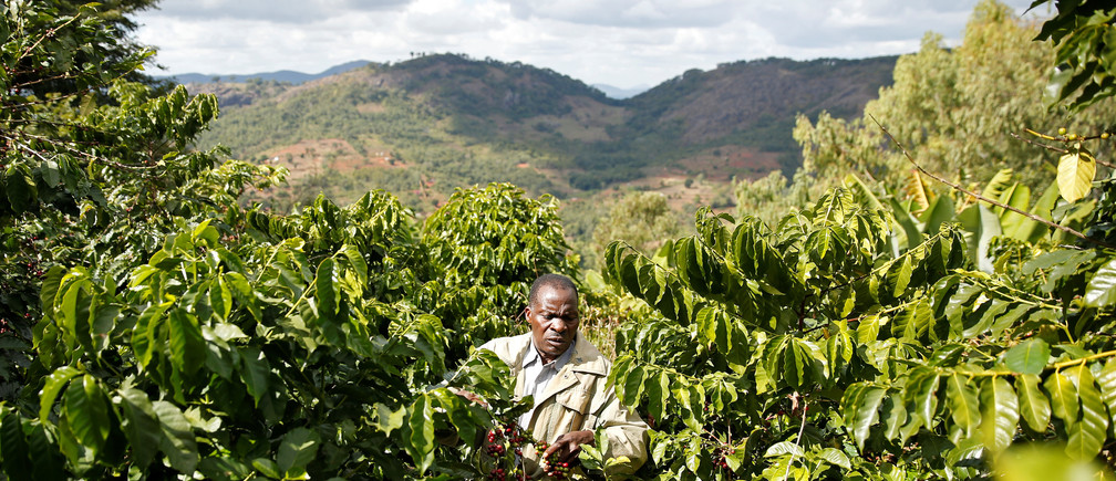 A Zimbabwean coffee farmer