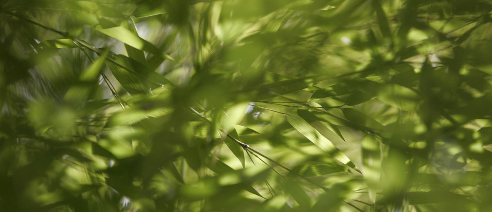 Bamboo leaves in a thicket are pictured in Hakone, Kanagawa Prefecture, February 13, 2008. REUTERS/Michael Caronna (JAPAN) - GM1DXGHKDQAA