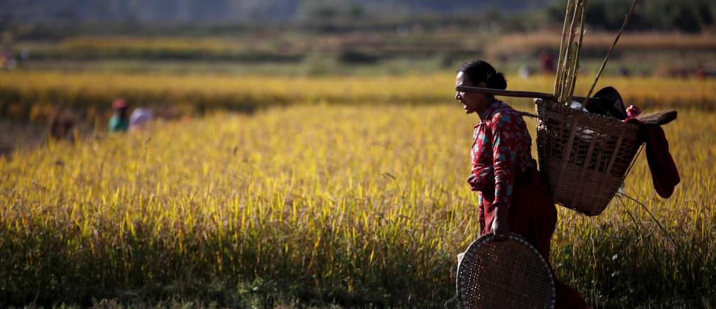 A farmer returns after harvesting rice on a field in Lalitpur, Nepal November 15, 2019. REUTERS/Navesh Chitrakar - RC2NBD9ODA4I