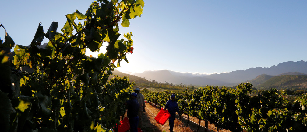 Workers harvest grapes at the La Motte wine farm in Franschhoek near Cape Town, South Africa in this picture taken January 29, 2016. REUTERS/Mike Hutchings - RTSFW3V