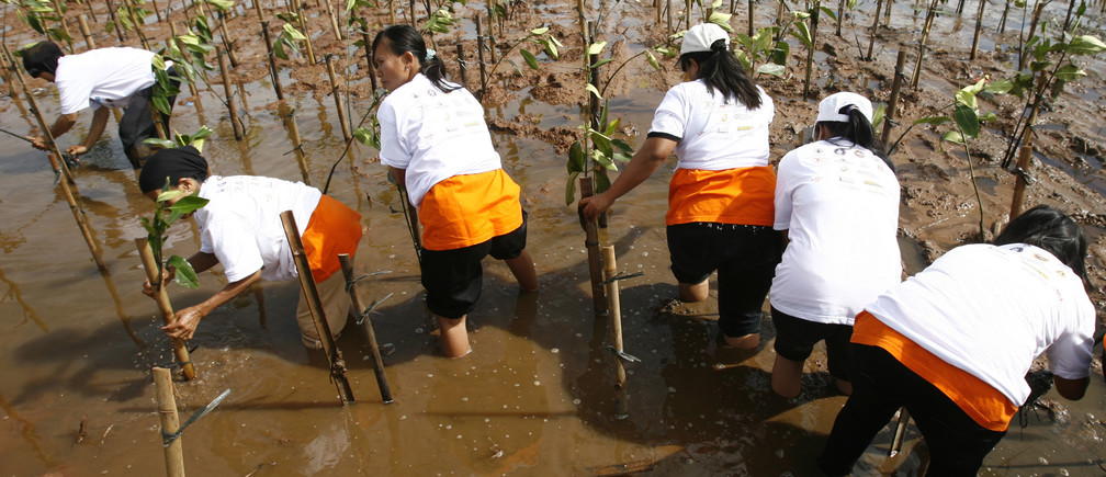 Women plant mangrove trees along the Jakarta bay November 21, 2009. They will attempt to plant nine million mangrove trees over the next few months, as part of a community service organised by a local television station. Mangrove swamps are expected to help Indonesia's coastal communities fend off rising seas and stronger tropical storms, climate change experts say.   REUTERS/Supri  (INDONESIA SOCIETY ENVIRONMENT) - GM1E5BL13AP01