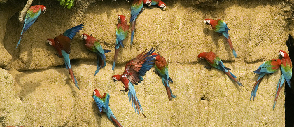 Red and Green Macaws are seen on a clay lick at the Manu Biosphere Reserve in Peru's southern Amazon region of Madre de Dios November 2, 2009. This 1.8 million hectares reserve is the home of 600 birds species and 11 monkey species among other animals, as caymans and mammals, and has one of the highest levels of biodiversity of any park in the world with more than 200 varieties of trees found in one hectare. Picture taken November 2, 2009