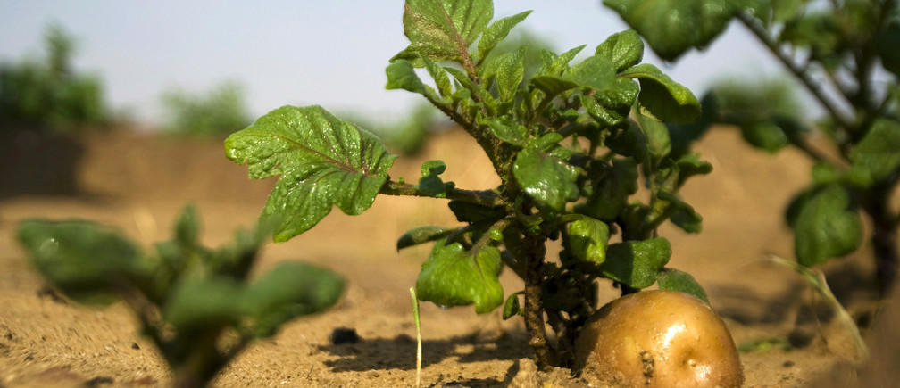 A potato grows in a field irrigated by recycled waste water in Kibbutz Magen in southern Israel November 15, 2010. With increased interest worldwide, Israel is marketing its waste water reuse technologies and has developed a billion-dollar industry by sharing systems and expertise. REUTERS/Amir Cohen (ISRAEL - Tags: SCI TECH ENVIRONMENT AGRICULTURE) - GM1E6BF1N1G01