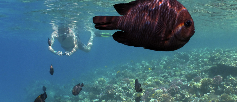 A tourist and domino fish (Dascyllus trimacultus) swim together near corals at the Egyptian resort of Madinat Makadi near Hurgada June 8, 2011.  REUTERS/Gleb Garanich (EGYPT - Tags: TRAVEL ANIMALS)