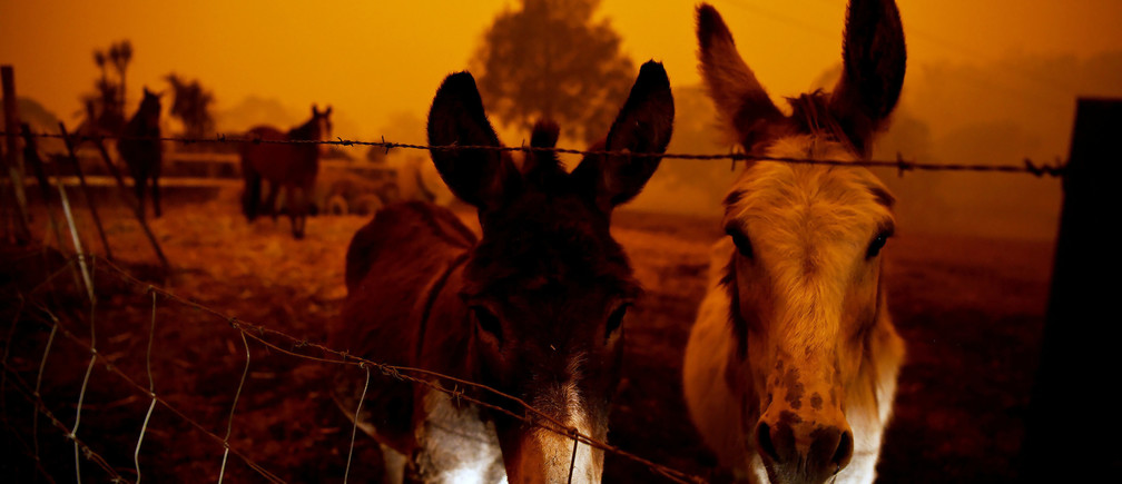Animals are seen in Cobargo, as bushfires continue in New South Wales, Australia January 5, 2020. REUTERS/Tracey Nearmy - RC2N9E9LREXK