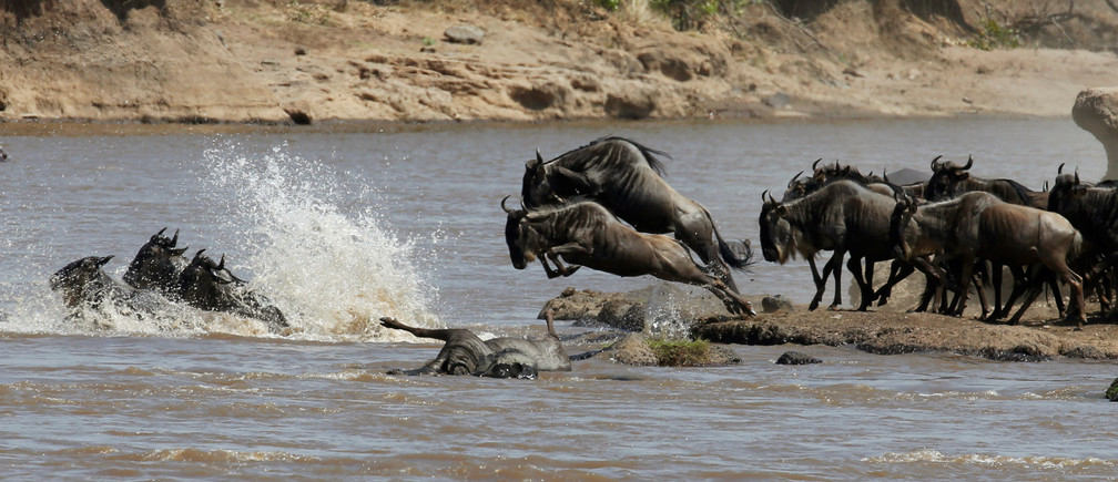 Wildebeests (connochaetes taurinus) jump to cross the Mara river during their migration to the greener pastures, between the Maasai Mara game reserve and the open plains of the Serengeti, southwest of Kenya's capital Nairobi, August 15, 2016. Picture taken August 15, 2016. REUTERS/Thomas Mukoya - S1AETVYROQAA