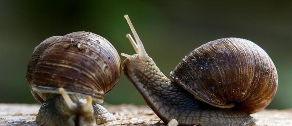 Snails (Helix Pomatia) are seen at the Vladimir Rabkov's farm in the village of Dolginovo, Belarus August 22, 2017.  REUTERS/Vasily Fedosenko - RC1C8A9683D0