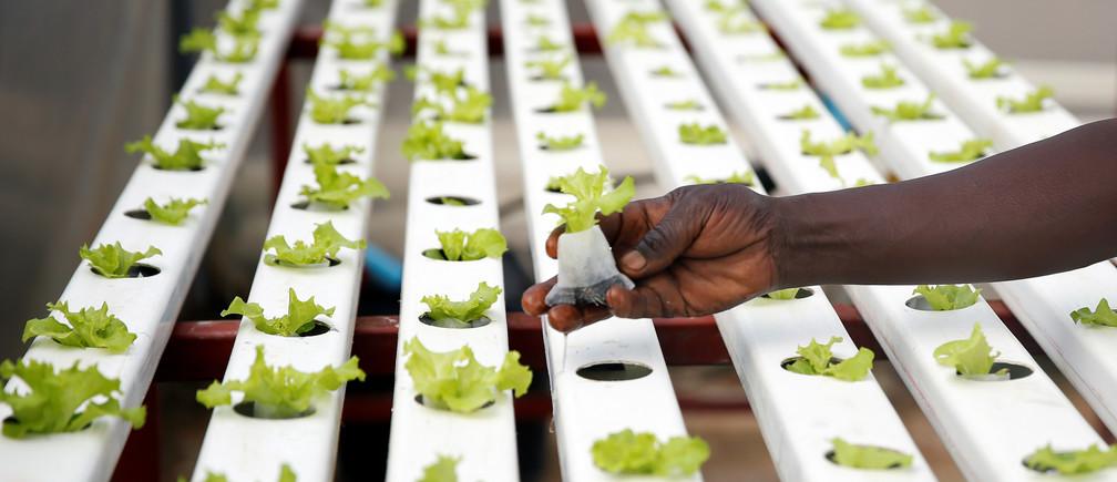 Un trabajador coloca plantas dentro de un jardín hidropónico en Harare, Zimbabwe, el 15 de enero de 2020. Foto tomada el 15 de enero de 2020.