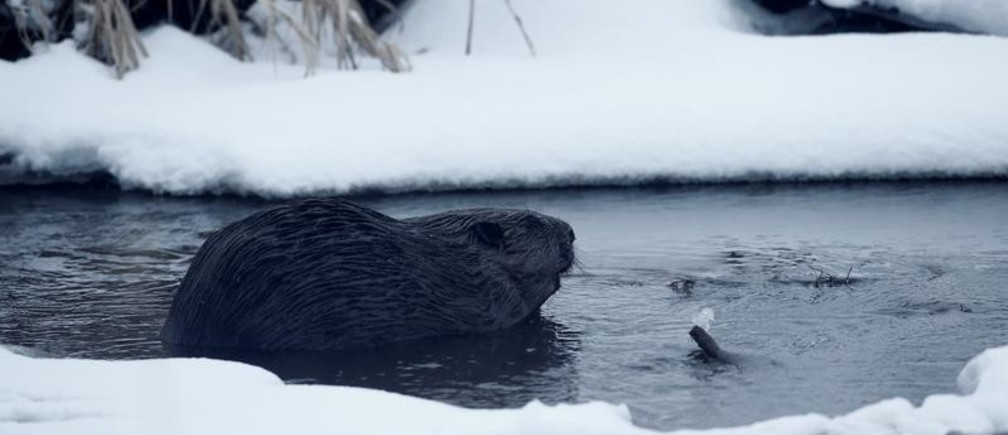 """A beaver is seen in a channel in Republican landscape reserve """"Naliboksky"""" near the village of Rum, Belarus, March 7, 2018. REUTERS/Vasily Fedosenko - RC18D63B91C0"""