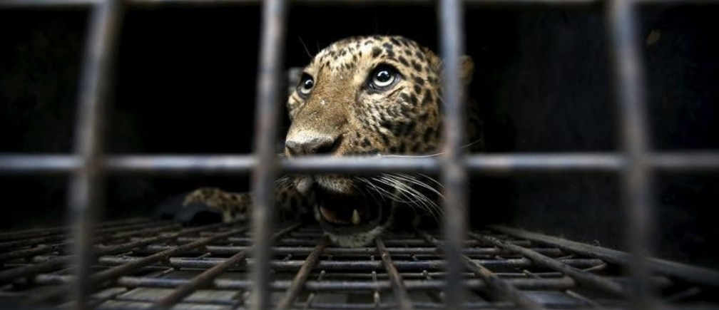 A tranquilized wild leopard lies inside a cage after being captured after it entered a town and injured a person in Kathmandu, Nepal, January 22, 2016. REUTERS/Navesh Chitrakar - GF20000103168