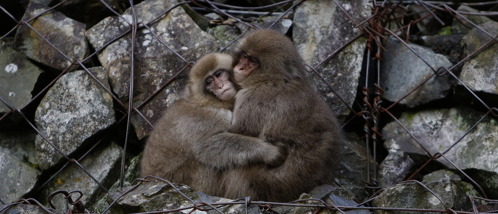 Japanese macaques (or so called Snow Monkeys) hold each other while sitting on rocks near a hot spring at a valley in Yamanouchi town, Nagano prefecture, Japan, November 30, 2015. REUTERS/Yuya Shino TPX IMAGES OF THE DAY      - D1AERYPGLBAA