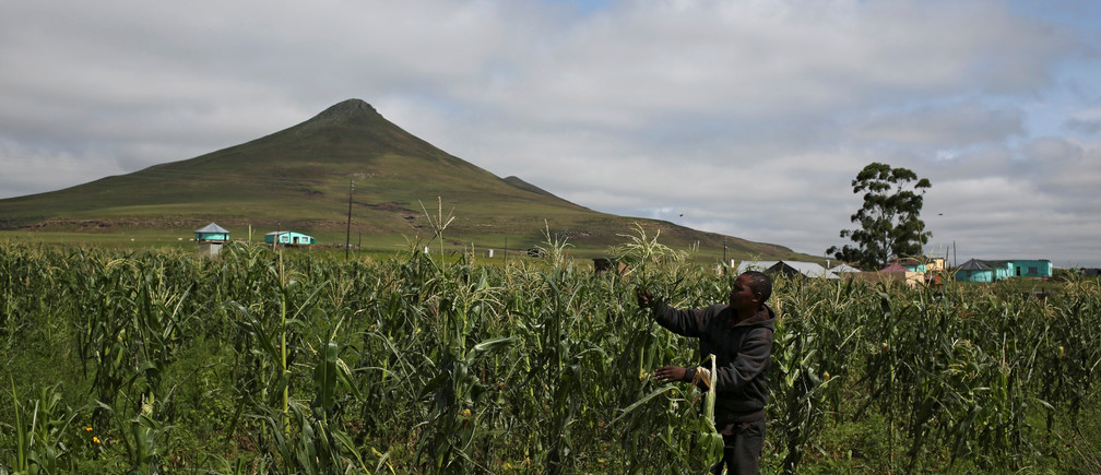 A subsistence farmer inspects his crop at Siqikini location, outside Cofimvaba, Eastern Cape province, South Africa, March 18, 2018.  Picture taken March 18, 2018. REUTERS/Siphiwe Sibeko - RC1453408DD0