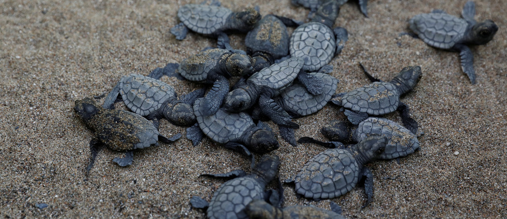 "Baby sea turtles crawl to the sea following their release after treatment at the Sea Turtle Rescue Center (DEKAMER) at Iztuzu Beach near Dalyan in Mugla province, Turkey, August 25, 2018. REUTERS/Umit Bektas  SEARCH ""BEKTAS TURTLES"" FOR THIS STORY. SEARCH ""WIDER IMAGE"" FOR ALL STORIES. - RC198FF853E0"