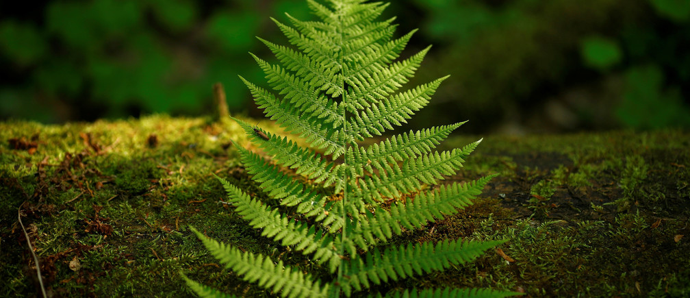 A fern leaf lies on a bough in a protected area of Bialowieza forest, the last primeval forest in Europe, near Bialowieza village, Poland May 30, 2016.