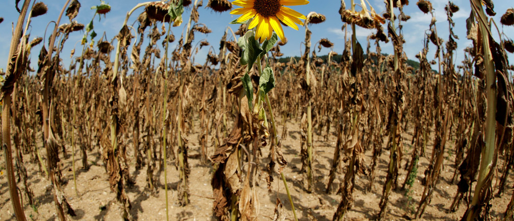 A sunflower blooms during the heatwave in Switzerland during August 2018