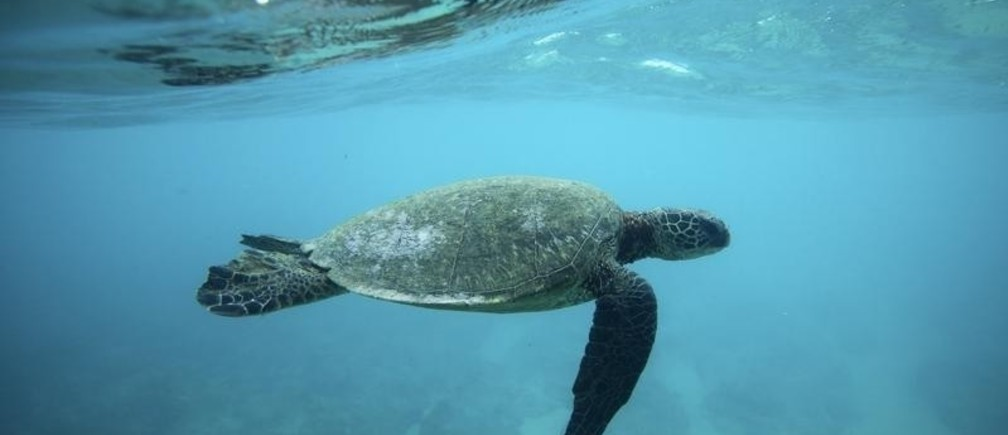 A Green Sea turtle swims over a reef near the surf break known as 'Pipeline' on the North Shore of Oahu, Hawaii  March 20, 2013. REUTERS/Hugh Gentry (UNITED STATES - Tags: ENVIRONMENT SOCIETY ANIMALS TRAVEL) - RTR3F965