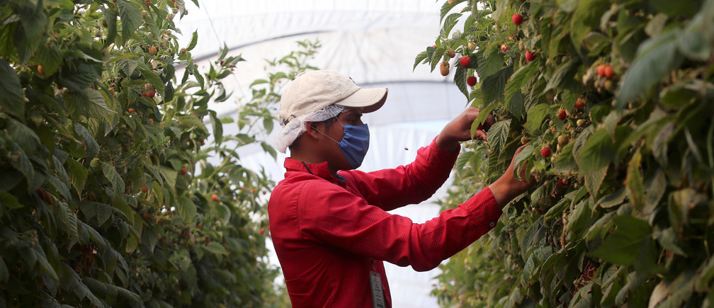A fruit picker harvests berries at a farm owned by DriscollÕs, a California-based seller of berries, as the outbreak of the coronavirus disease (COVID-19) continues in Zapotlan el Grande, in Jalisco state, Mexico April 29, 2020. Picture taken April 29, 2020. REUTERS/Fernando Carranza - RC2MJG97M6J3