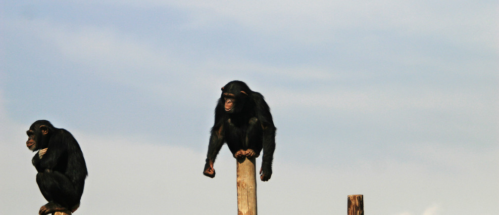 -PHOTO TAKEN 15JUN06-Apes sit on poles at a sanctuary outside Madrid June 15, 2006. Spain's parliament is set to declare support for the rights to life and freedom for great apes in what will apparently be the first time any national legislature has recognised such rights for non-humans. - RTXOUBP