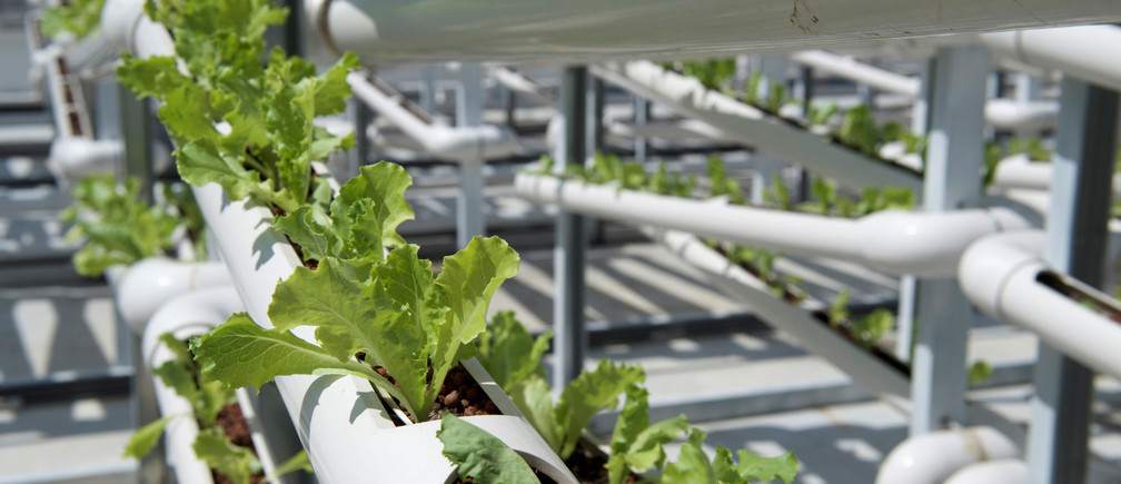 Organic lettuces are seen on rows of growing towers that are primarily made out of polyvinyl chloride (PVC) pipes at Citiponics' urban farm on the rooftop of a multi-storey carpark in a public housing estate in western Singapore April 17, 2018. Picture taken April 17, 2018. REUTERS/Loriene Perera - RC1D35EEA080