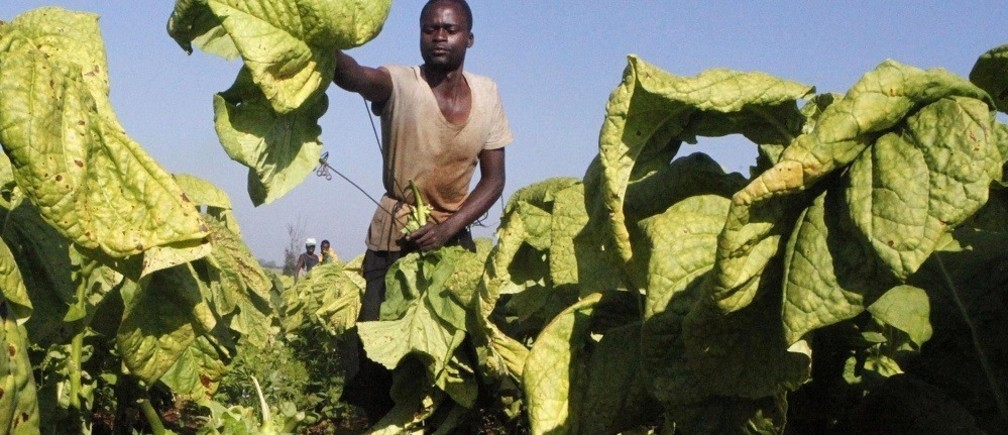 Zimbabwean farm worker Lovemore Dzapasi harvests tobacco at Lobernvale farm in Harare, January 17, 2014. Zimbabwe's economy will grow by 4.2 percent this year, well short of the government's more upbeat projection as weaker global metal prices weigh on expansion, the World Bank said on Wednesday.Finance Minister Patrick Chinamasa said last month the economy was expected to grow by 6.4 percent in 2014 up from 3.4 percent last year, buoyed by mining, agriculture and construction.REUTERS/Philimon Bulawayo (ZIMBABWE - Tags: BUSINESS AGRICULTURE) - RTX17ID7